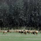 This elk herd was over one hundred strong.