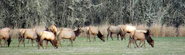 A.K.A. Olympic elk, is the largest of the four surviving subspecies of elk in North America.